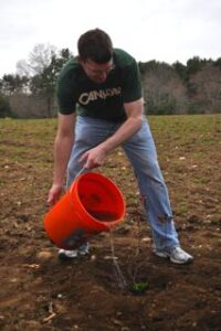 A man pours water on a new bayberry bush using an orange bucket